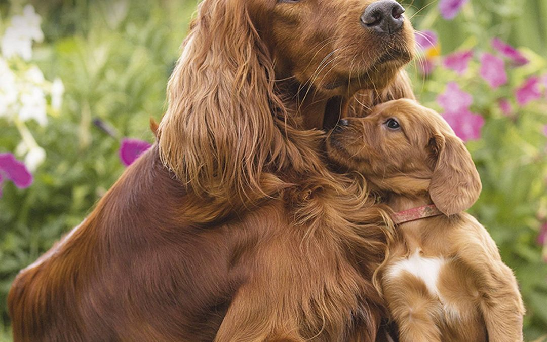 The Characteristics of a Irish Setter Puppy and Dog